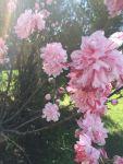 bloom lt pink peach clusters